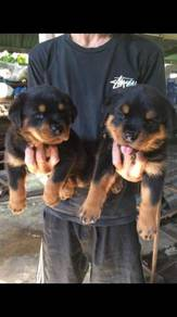 Pure breed rottweiler puppy