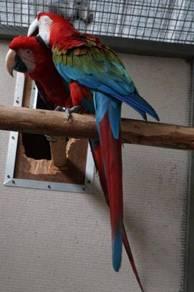 Burung green wing macaw breeding pair