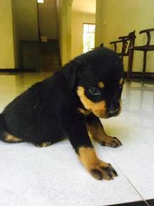 3 litters left Rottweiler puppies
