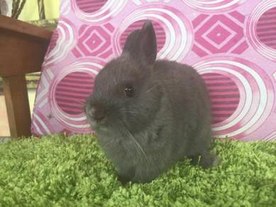 Arnab Netherland Dearf Bunny