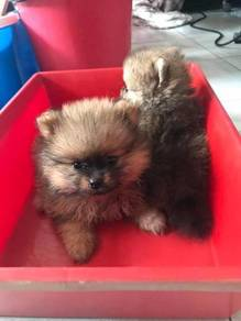 Pomeranian triple code 9 weeks