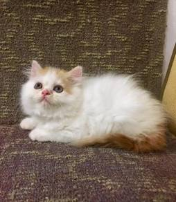 Persian female kitten semiflat