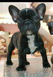 Pet Quality French Bulldog Puppy