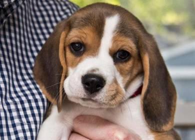 Cny promo baby beagle >mka< feb18