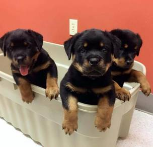 Good looking Rottweiler puppies