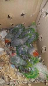 Burung Alexander hand feed siap lesen