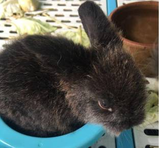 Rabbit - arnab for sale