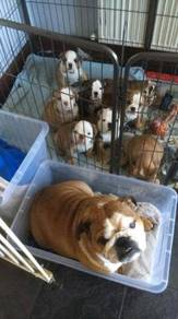 Dewormed English bulldog puppies