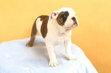 Stunning English bulldog puppies
