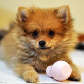 Pomeranian. 15/2