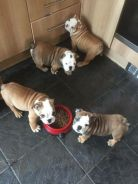 Vet checked English bulldog puppies