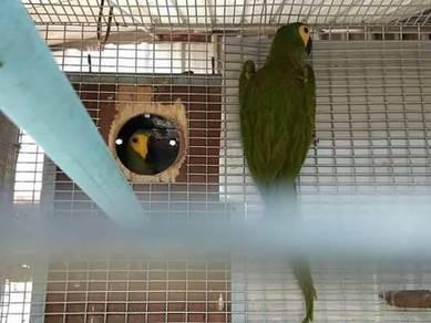 Burung red belied macaw pair matang siap DNA siap