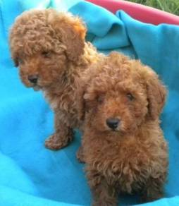 Baby toy poodle puppies