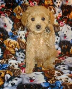 Vet checked toy poodle puppies