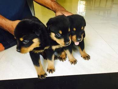 Obedient Rottweiler puppies