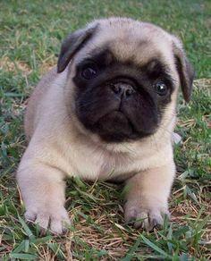 Promo baby pug on sale >feb18