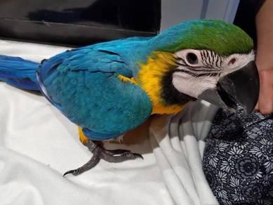 Healthy macaws parrots