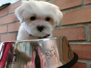 Promo adorable maltese pup mka