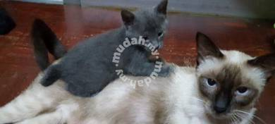 Siam chartuex mix kitten kucing cat kelabu