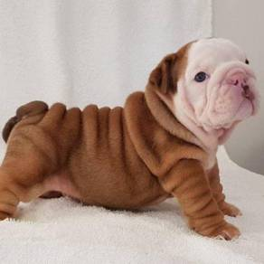 Vet records English bulldog puppies