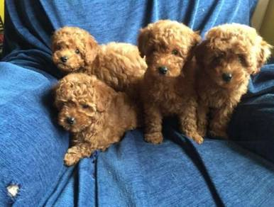 Cute toy poodle puppies