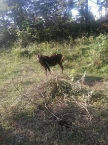 Lembu betine