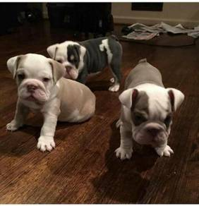 Easy to train English bulldog puppies