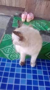 Kucing bara baka parsi untuk di jual