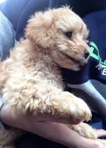 Toy poodle puppies availabe