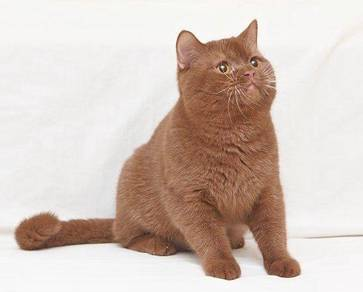 BSH Male cinnamon