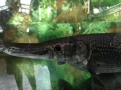 Ikan Mulut Buaya