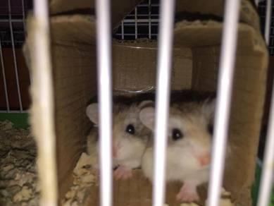 Anak hamster