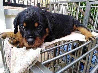 Top quality Rottweiler puppies for sale