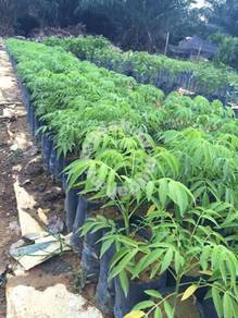 Benih Kedondong >CitaTani Nursery
