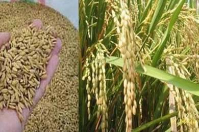 Menjual padi benih