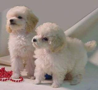 Toys Poodles Puppies