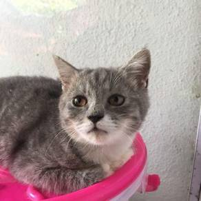 Grey short hair kitten kucing