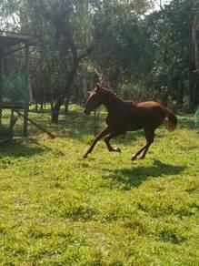 Anak kuda bimo