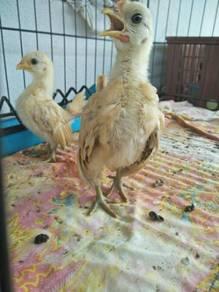 Anak Ayam Serama