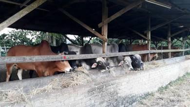 Lembu daging