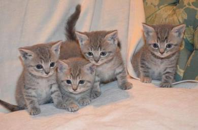 Adorable British Shorthair Kittys