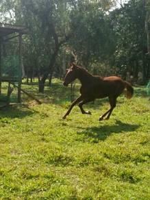 Kuda jantan umur 1th 4buln ibu kkb pok exres