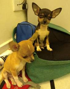 Apple head toy chihuahua for sale