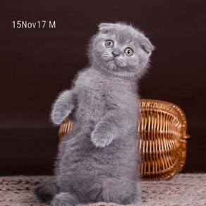 Scottish Fold Blue Lilac
