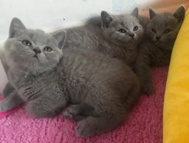 Cute Beautiful Blue British Short Hair Kittens