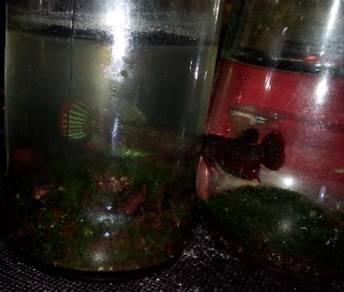 Ikan laga kampung