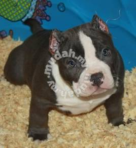 Pure breed stanffordshire puppies
