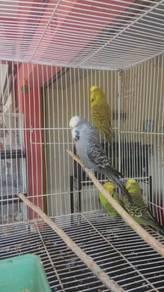 Burung English baji induk pair