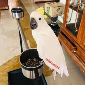 Burung Triton Cockatoo Parrot Bird