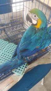 Burung blue and gold macaw siap lesen backup feedi